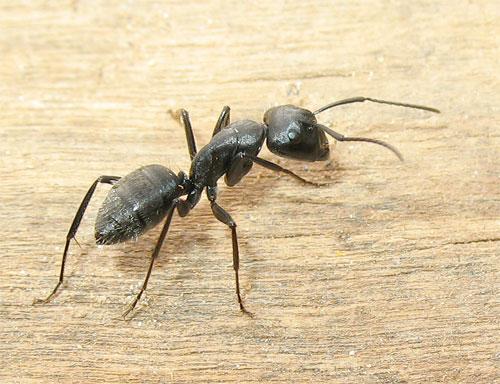 Come eliminare definitivamente le formiche dalla casa insetti in casa casa bricolage casa - Come debellare le formiche in casa ...